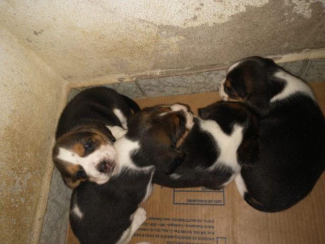 Filhotes Beagle, data de nascimento 04/02/2021 faça sua reserva  - Foto 2
