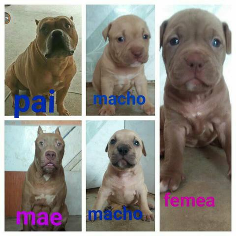 American bully com pit red nose