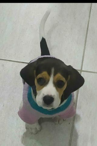 """Filhote de Beagle """"Fêmea"""" 13 polegadas - Foto 2"""