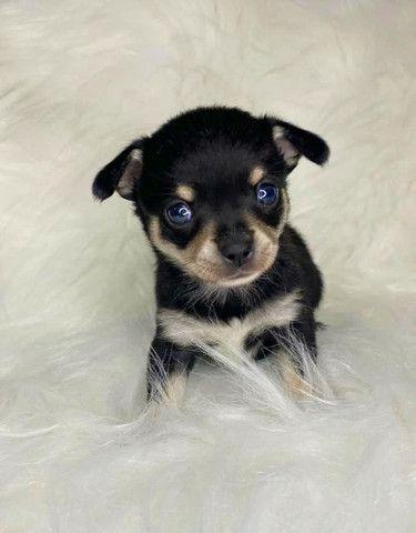 Chihuahua - Foto 5