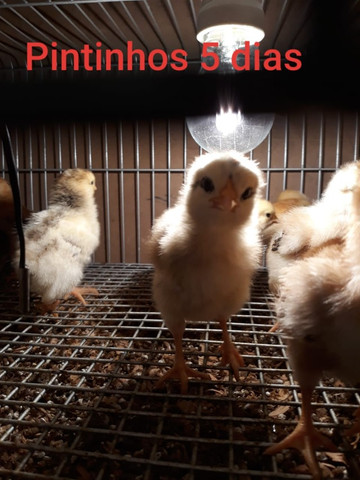 Embrapa- Ovos Galados e Pintinhos - Foto 4
