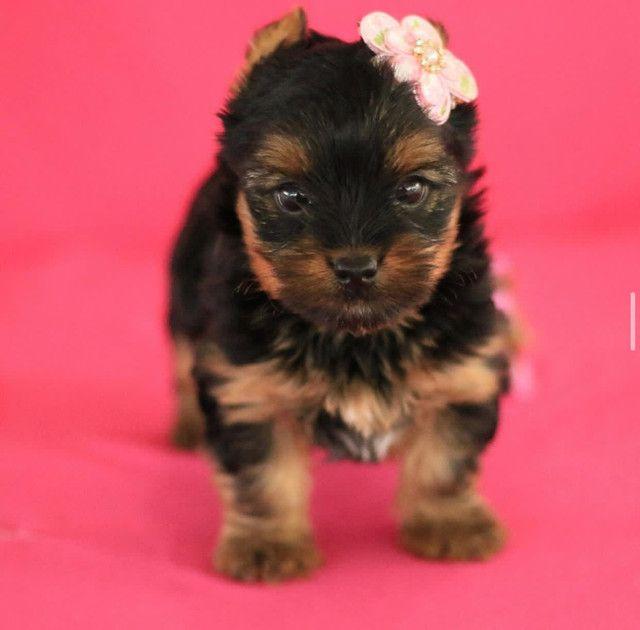 Fêmea De yorkshire Terrier Linda  - Foto 3