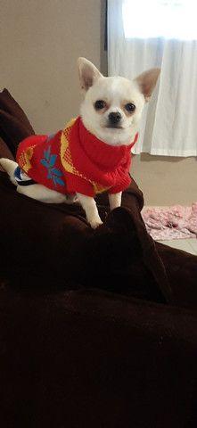 Chihuahua Fêmea Pelo Longo - Foto 5