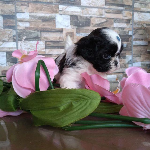 Filhote Shih Tzu fêmea disponível pra entrega CANIL kennil Raquel vargas  - Foto 3