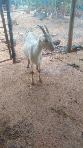 Cabra cabrito bode - Foto 6
