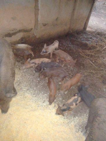 Porco caipira - Foto 5