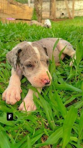 10 filhotes dog alemão - Foto 4