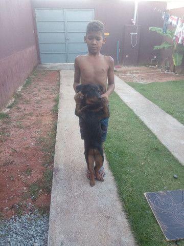 Rottweiler cachorro venda  - Foto 4