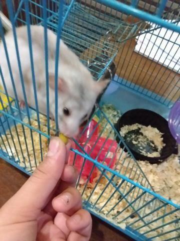 Vendo hamster com gaiola e tudo 120 R$ entrego - Foto 2