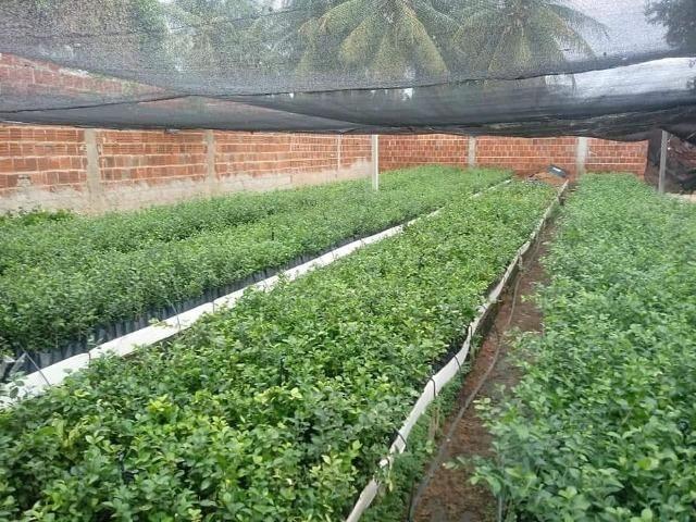 Mudas frutíferas de qualidade