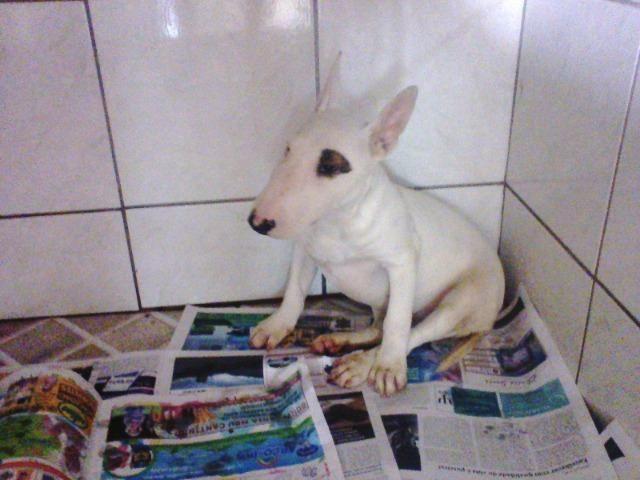 Bull Terrier femea,4 meses,3 vacinas,desverminadas,parcelo até 12 x - Foto 2