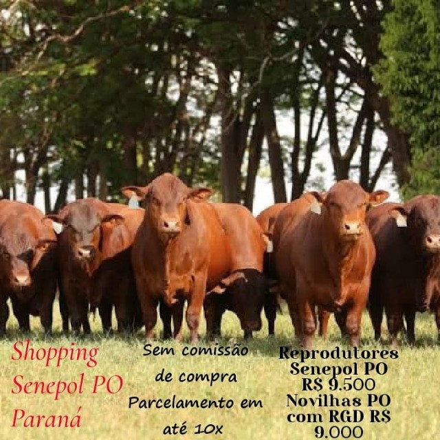 [[77]]Senepol PO Paraná ( Reprodutores e Novilhas) R$9 mil cada em 10x no boleto