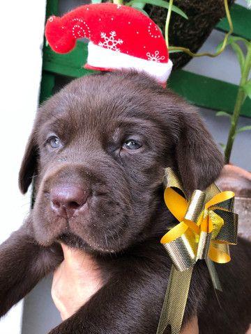 Labrador // pedigreee// campeã // linhagem padrão da raça  - Foto 2