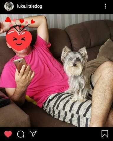 Procuro Namorada - Cachorro para Cruzar - Foto 4