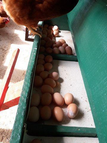 Embrapa- Ovos Galados e Pintinhos - Foto 3
