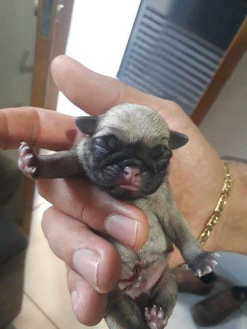 Vende-se cachorros recém nascidos raça pug