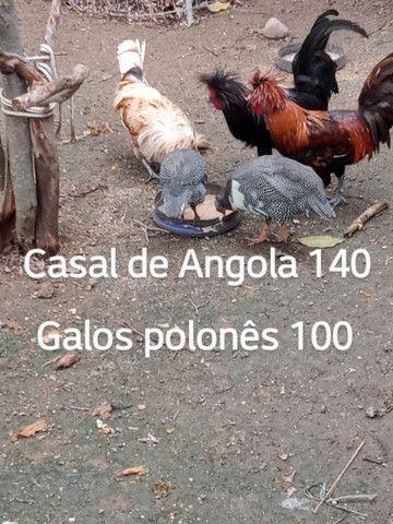 Polonesas codorna Angola ganso - Foto 2