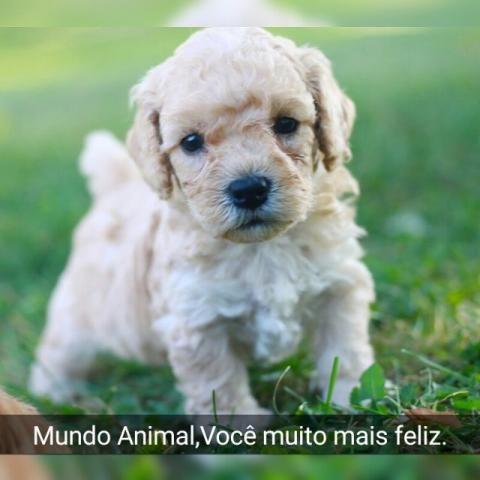 Poodle Toy Machinhos
