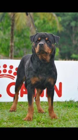 Rottweiler com pedigree. ótima genética ,disponível pra cobertura de fêmeas.