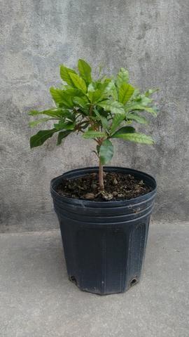 Planta do milagre (Fruta do Milagre) - Foto 4