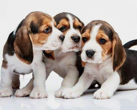Beagle Com contrato e garantia
