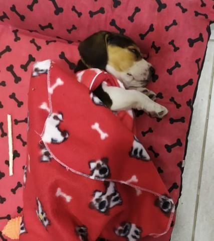 """Filhote de Beagle """"Fêmea"""" 13 polegadas - Foto 4"""