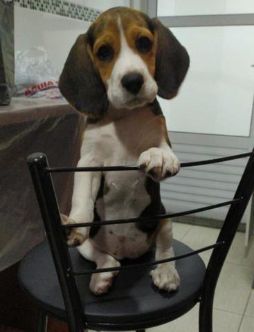 """Filhote de Beagle """"Fêmea"""" 13 polegadas"""