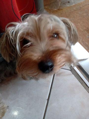 Cachorro Bebê yorkshire - Foto 2