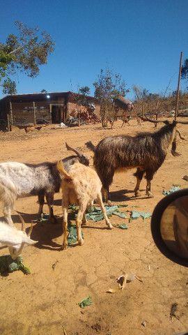 Cabra cabrito bode - Foto 5
