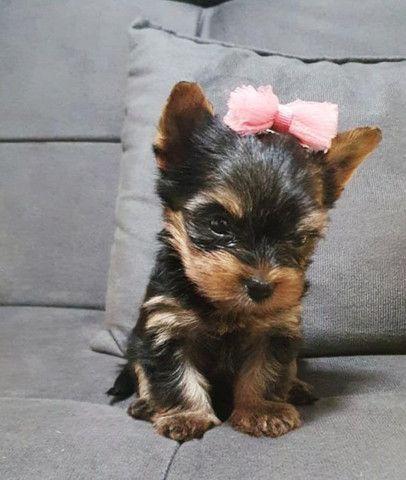 Fêmea de Yorkshire Terrier
