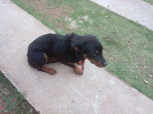 Rottweiler cachorro venda  - Foto 5