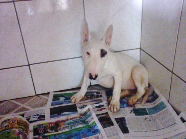 Bull Terrier femea,4 meses,3 vacinas,desverminadas,parcelo até 12 x - Foto 4