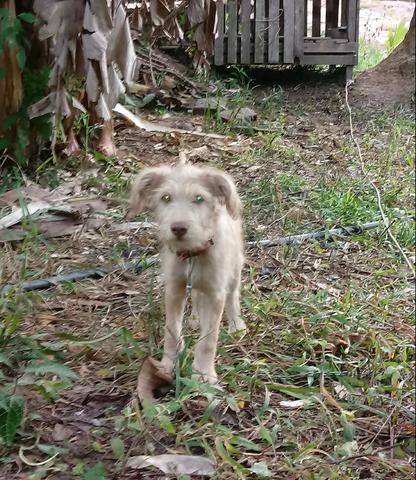 Doação desse poodle mestiço - Foto 2