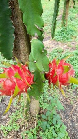 Vende-se muda de pitaya  - Foto 4