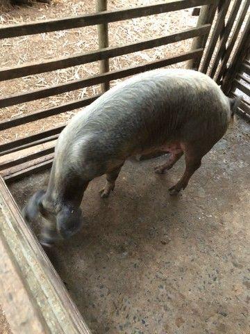 Porca e leitões  - Foto 2