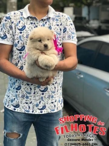 Chow-chow ligue para adquirir conosco * - Foto 4