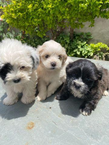 Filhotinhos de mini Lhasa apso