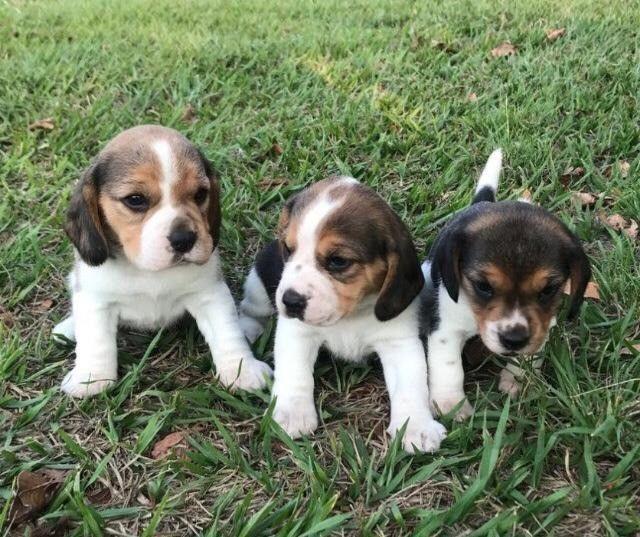 Beagle Filhotes Lindos