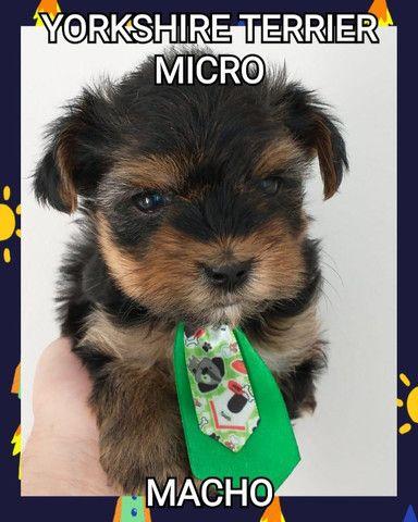 Yorkshire terrier macho e Fêmea ja com microchip  - Foto 2