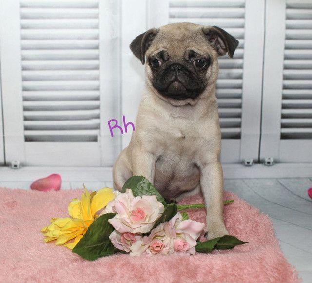 Lindos Filhotes de Pug - Foto 2