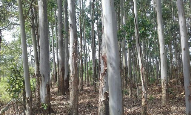 Vendo Mato de eucalipto