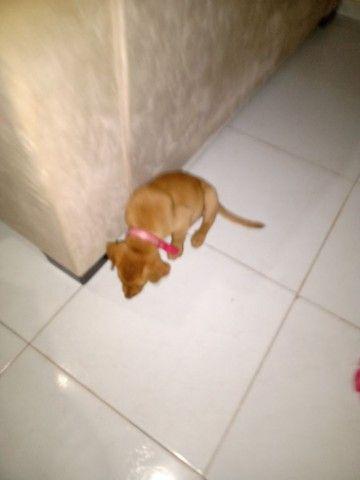 Cachorro labrador por 500 - Foto 2