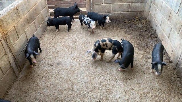 Porcos com 70 dias