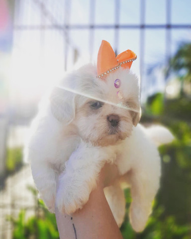 Super promoção! Lindíssima Shih Tzu fêmea R$1.899 - Foto 2