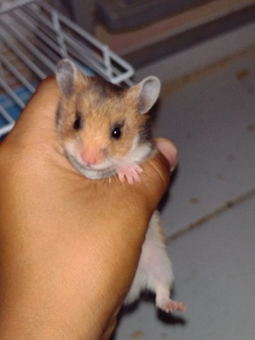 Vendo filhotes  de hamster sírio  - Foto 2