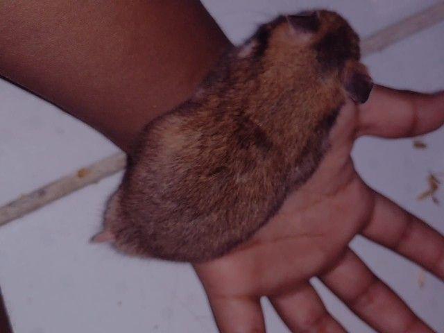 Vendo filhotes  de hamster sírio  - Foto 4