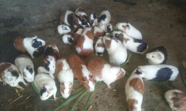 Vende se Porquinhos da India