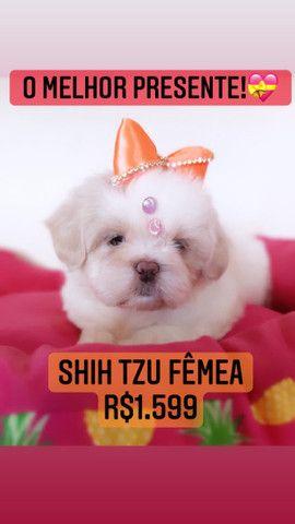 Shih tzu fêmea!!! belíssima  - Foto 3