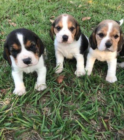 Beagle Filhotes Lindos - Foto 2