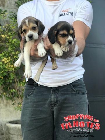 Beagle Bicolor e Tricolor, todos com garantia total de saúde em contrato Whats * - Foto 3